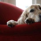 Los signos y síntomas de insuficiencia cardiaca en etapa terminal congestiva canina