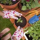 Cómo cosechar flores de tilo