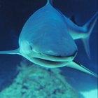 Cómo tomar cartílago de tiburón