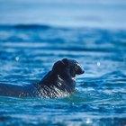 ¿Qué comen los elefantes marinos?