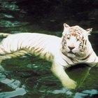 ¿Cuáles son algunas adaptaciones del tigre?