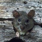 Cómo matar rápidamente a las ratas