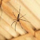 Cómo identificar las picaduras de arañas peligrosas