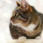 Respiración rápida en los gatos