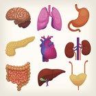 Cómo trabajan juntos el sistema respiratorio y circulatorio