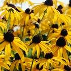 Las flores que se parecen a los girasoles