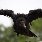 Cómo hacer un pico de pájaro para un disfraz de buitre