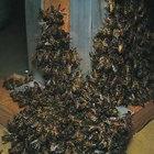 Cómo eliminar una colonia de abejas africanas