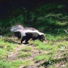 Why Do Skunks Dig Holes in Your Yard?