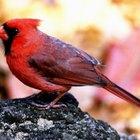 Diferentes especies de pájaros cardenales