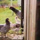 Animales salvajes que matan pollos