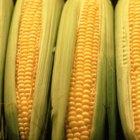 ¿Qué clase de hongos crecen sobre el maíz húmedo?