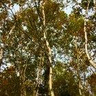 Cuánta agua transporta un árbol desde sus raíces hasta sus hojas en un día