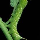 Cómo deshacerte de las orugas verdes con cuernos