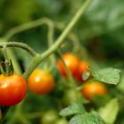 ¿Qué animales se comen las plantas de tomate?