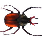 ¿Qué animales se comen las larvas de escarabajo?