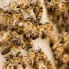 ¿Por qué las abejas pican a la gente?