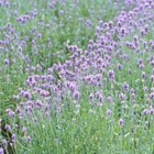 Lavender Farming Grants