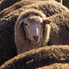 How to Tan Sheep Hides