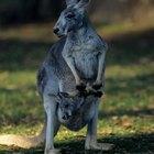 Animales que llevan a sus crías en un marsupio