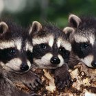 Datos sobre los mapaches para niños