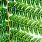Por qué los helechos producen tantas esporas