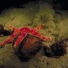 Etapas de la embriogénesis de las estrellas de mar