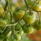 ¿Por qué mis plantas de tomate florecen pero no dan frutos?