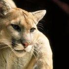 Adaptaciones del león de montaña para vivir en el desierto