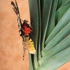 El proceso de una mariposa emergiendo de un capullo