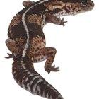 ¿Qué adaptaciones realizaron los anfibios para evolucionar de animales acuáticos a terrestres?