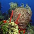 Adaptaciones de la estrella de mar corona de espinas