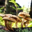 ¿Cuál es la clasificación de los líquenes, hongos y mohos?