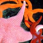 ¿Qué ocurre cuando una estrella de mar pierde una extremidad?
