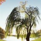 Tipos de árboles con raíces poco profundas