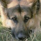 ¿Qué son los niveles de monocitos en los perros?