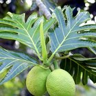 Health Benefits of Breadfruit