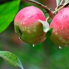 Uses for Honeycrisp Apples