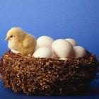 ¿Cómo saber cuando los huevos de gallina tienen un polluelo dentro?