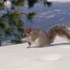 Información sobre ardillas que viven en los árboles de pino
