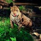 ¿Qué efecto tiene en los animales la deforestación de la selva tropical?
