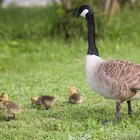 ¿Qué pájaros hacen sus nidos a nivel del suelo?