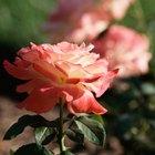 Por qué los tallos de las rosas tienen espinas
