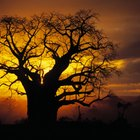 Tipos de árboles y arbustos que se encuentran en pastizales y sabanas africanas