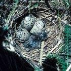 Cómo hacer un nido de pato