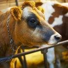¿Cuáles son las diferencias entre el ojo de una vaca y el de un humano?