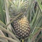 ¿Qué frutas son monocotiledóneas?