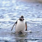 Características de pinguinos