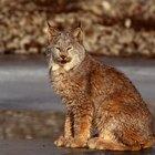 Diferencias físicas entre el gato montés y el lince
