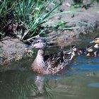 Animales que comen caracoles de estanque